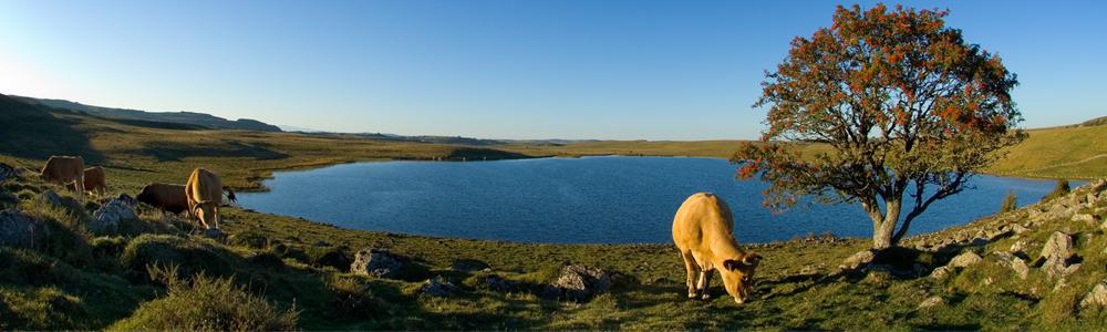 aubrac plateau lac vaches