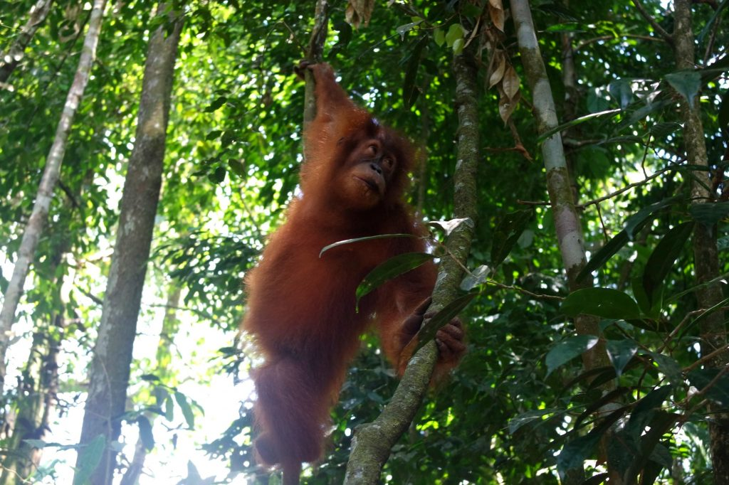 jeune-orang-outan-sumatra
