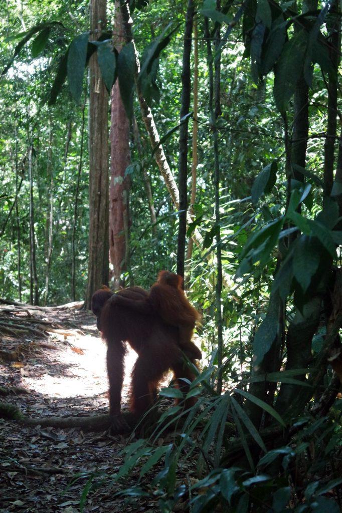 duo-orang-outan-sumatra